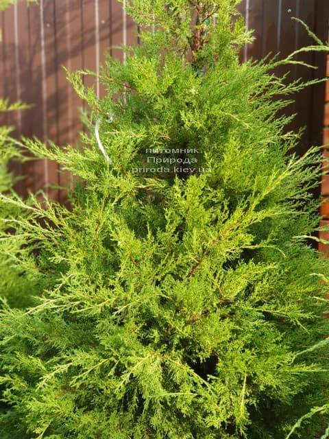 Можжевельник китайский Куривао Голд (Juniperus chinensis Kuriwao Gold) ФОТО Питомник декоративных растений Природа (3)