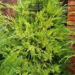 Ялівець китайський Курівао Голд (Juniperus chinensis Kuriwao Gold) ФОТО Розплідник декоративних рослин Природа (4)