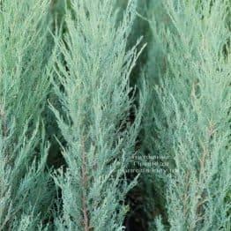 Ялівець скельний Скайрокет (Juniperus scopulorum Skyrocket) ФОТО Розплідник рослин Природа (6)