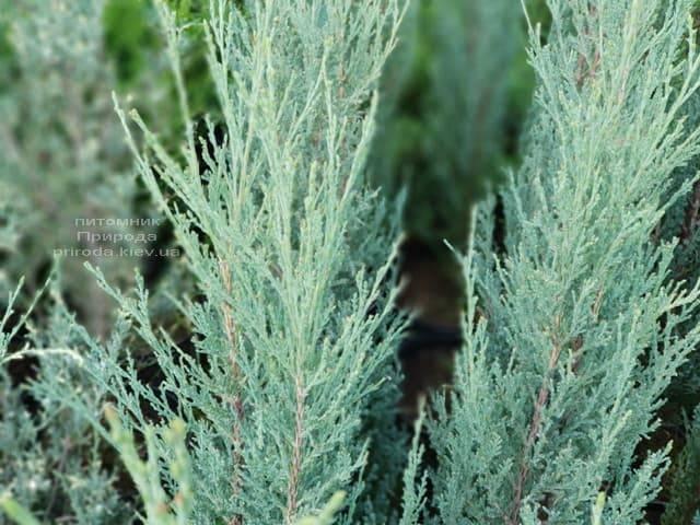 Можжевельник скальный Скайрокет (Juniperus scopulorum Skyrocket) ФОТО Питомник растений Природа (7)