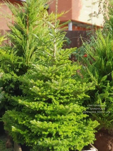 Ялиця корейська (Abies koreana) ФОТО Розплідник рослин Природа (1)