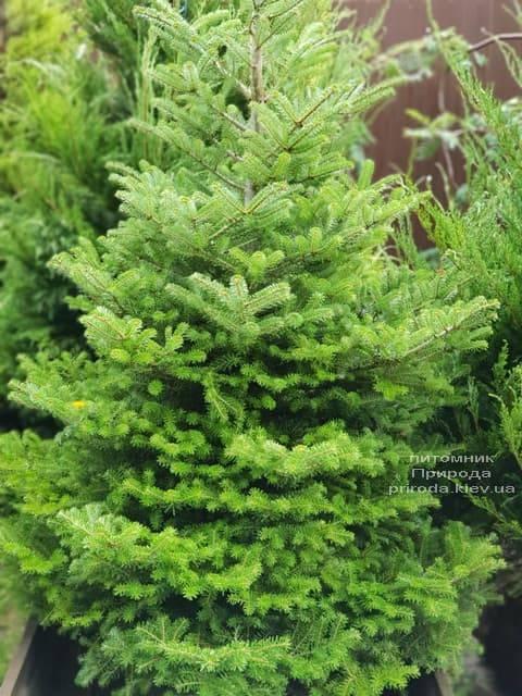Ялиця корейська (Abies koreana) ФОТО Розплідник рослин Природа (2)