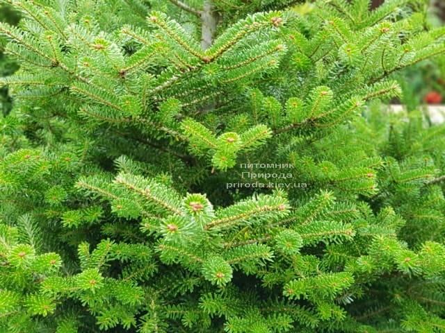 Ялиця корейська (Abies koreana) ФОТО Розплідник рослин Природа (4)