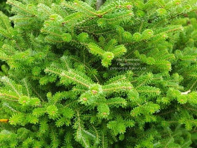 Ялиця корейська (Abies koreana) ФОТО Розплідник рослин Природа (5)
