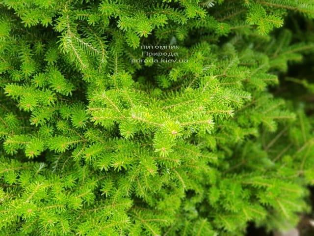 Ялиця корейська (Abies koreana) ФОТО Розплідник рослин Природа (6)