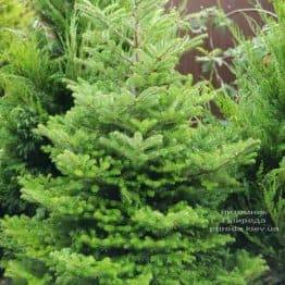 Пихта корейская (Abies koreana) ФОТО Питомник растений Природа (7)