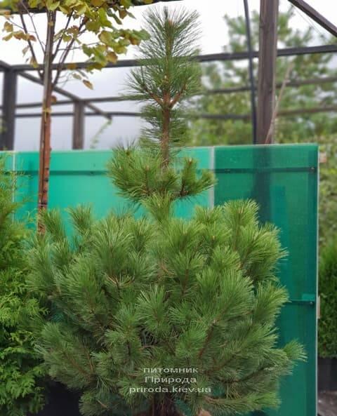 Сосна Чёрная (Австрийская) (Pinus nigra austriaca) ФОТО Питомник растений Природа (1)