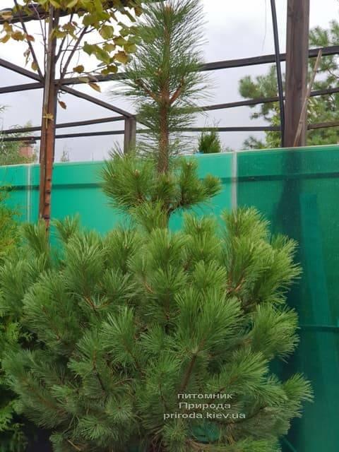 Сосна Чёрная (Австрийская) (Pinus nigra austriaca) ФОТО Питомник растений Природа (2)