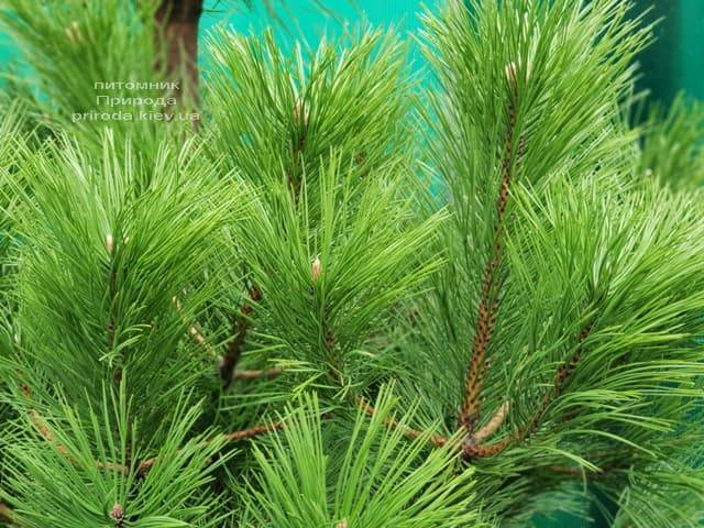 Сосна Чёрная (Австрийская) (Pinus nigra austriaca) ФОТО Питомник растений Природа (3)