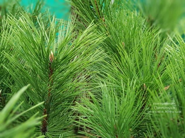 Сосна Чёрная (Австрийская) (Pinus nigra austriaca) ФОТО Питомник растений Природа (5)