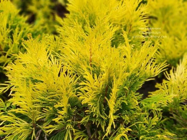 Туя складчаста Фореве Голді (Thuja plicata Goldy) ФОТО Розплідник рослин Природа (1)