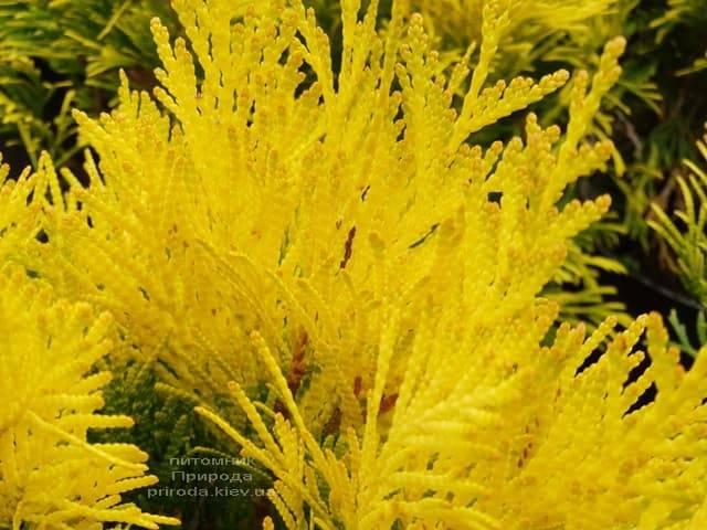 Туя складчаста Фореве Голді (Thuja plicata Goldy) ФОТО Розплідник рослин Природа (2)