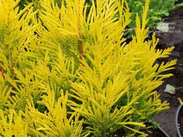 Туя складчаста Фореве Голді (Thuja plicata Goldy) ФОТО Розплідник рослин Природа (3)