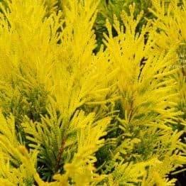 Туя складчаста Фореве Голді (Thuja plicata Goldy) ФОТО Розплідник рослин Природа (4)