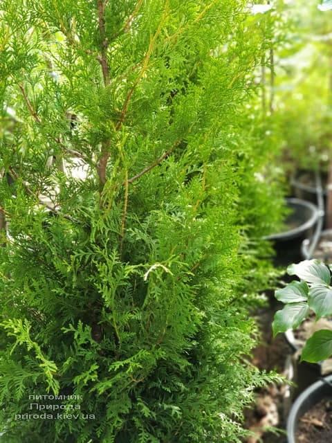 Туя западная Брабант (Thuja occidentalis Brabant) ФОТО Питомник растений Природа (50)