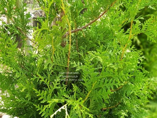 Туя западная Брабант (Thuja occidentalis Brabant) ФОТО Питомник растений Природа (52)