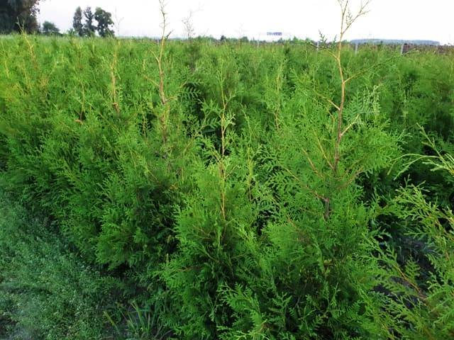 Туя західна Брабант (Thuja occidentalis Brabant) ФОТО Розплідник рослин Природа (55)