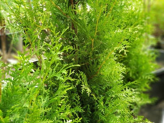 Туя західна Брабант (Thuja occidentalis Brabant) ФОТО Розплідник рослин Природа (56)