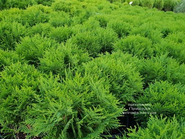 Туя западная Даника (Thuja occidentalis Danica) ФОТО Питомник растений Природа (10)