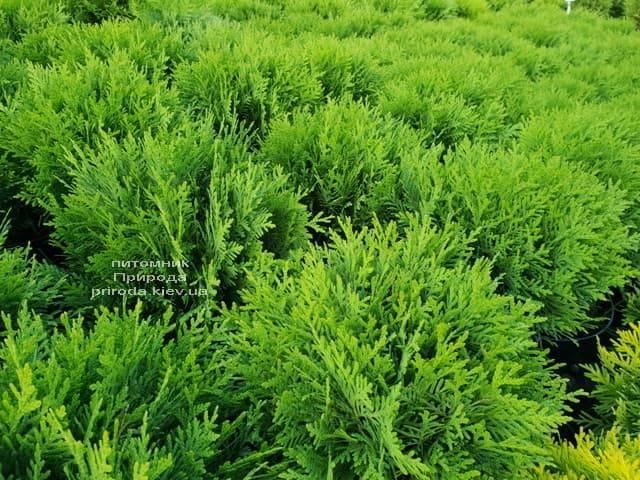 Туя західна Даніка (Thuja occidentalis Danica) ФОТО Розплідник рослин Природа (11)