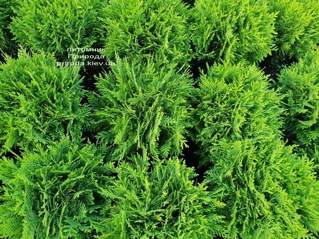 Туя западная Даника (Thuja occidentalis Danica) ФОТО Питомник растений Природа (12)