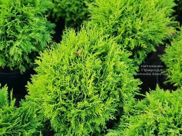 Туя западная Даника (Thuja occidentalis Danica) ФОТО Питомник растений Природа (13)