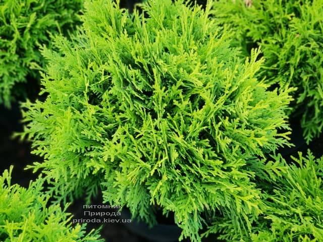 Туя западная Даника (Thuja occidentalis Danica) ФОТО Питомник растений Природа (14)