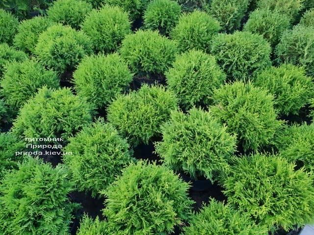 Туя західна Даніка (Thuja occidentalis Danica) ФОТО Розплідник рослин Природа (15)