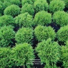 Туя західна Даніка (Thuja occidentalis Danica) ФОТО Розплідник рослин Природа (16)