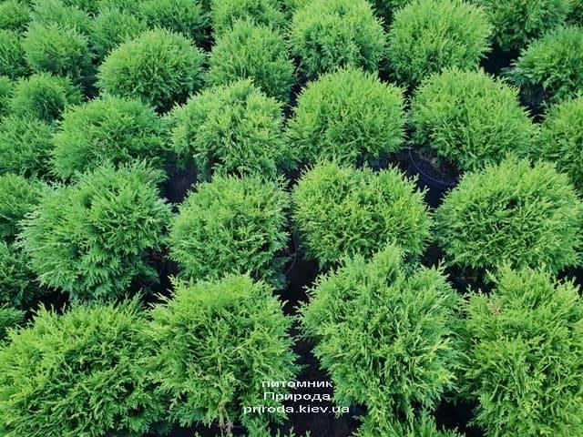 Туя западная Даника (Thuja occidentalis Danica) ФОТО Питомник растений Природа (16)
