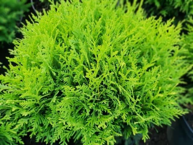 Туя западная Даника (Thuja occidentalis Danica) ФОТО Питомник растений Природа (17)