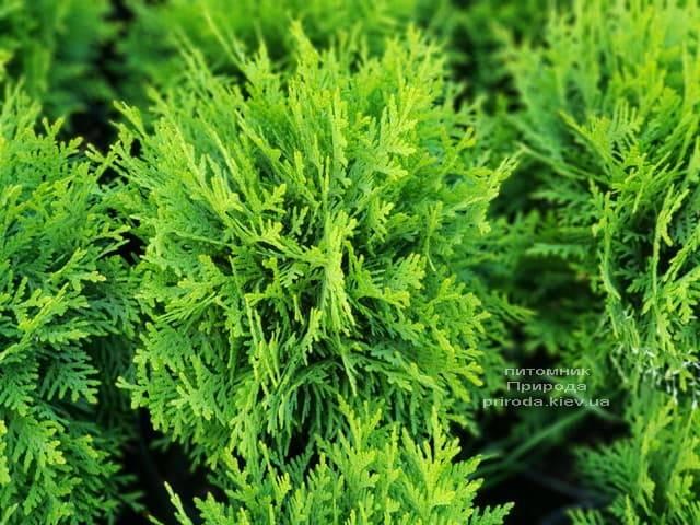 Туя західна Даніка (Thuja occidentalis Danica) ФОТО Розплідник рослин Природа (2)