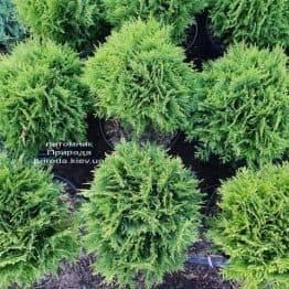Туя західна Даніка (Thuja occidentalis Danica) ФОТО Розплідник рослин Природа (20)