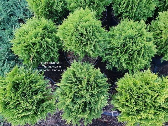 Туя западная Даника (Thuja occidentalis Danica) ФОТО Питомник растений Природа (20)