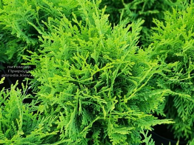 Туя західна Даніка (Thuja occidentalis Danica) ФОТО Розплідник рослин Природа (3)