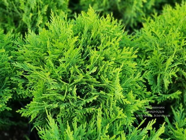 Туя західна Даніка (Thuja occidentalis Danica) ФОТО Розплідник рослин Природа (5)