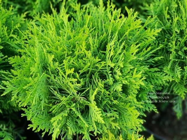 Туя західна Даніка (Thuja occidentalis Danica) ФОТО Розплідник рослин Природа (6)