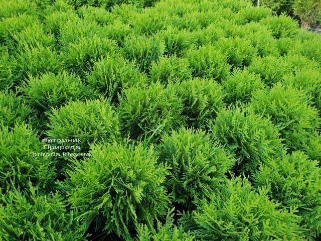 Туя західна Даніка (Thuja occidentalis Danica) ФОТО Розплідник рослин Природа (7)