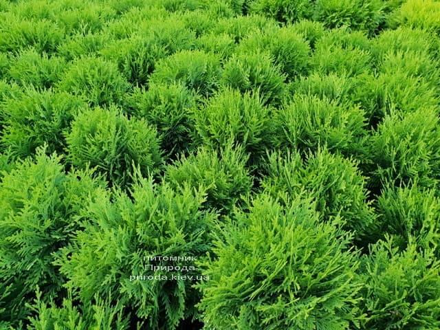 Туя західна Даніка (Thuja occidentalis Danica) ФОТО Розплідник рослин Природа (8)