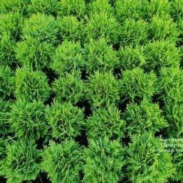 Туя западная Даника (Thuja occidentalis Danica) ФОТО Питомник растений Природа (9)