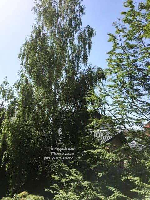 Берёза белая бородавчатая повислая (плакучая) (Betula pendula) ФОТО Питомник растений Природа (1)