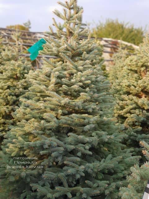 Ялина блакитна Глаука (Picea pungens Glauca) ФОТО Розплідник рослин Природа (20)