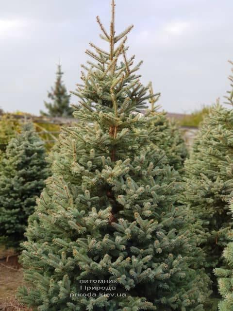 Ялина блакитна Глаука (Picea pungens Glauca) ФОТО Розплідник рослин Природа (22)