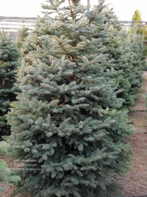 Ялина блакитна Глаука (Picea pungens Glauca) ФОТО Розплідник рослин Природа (23)
