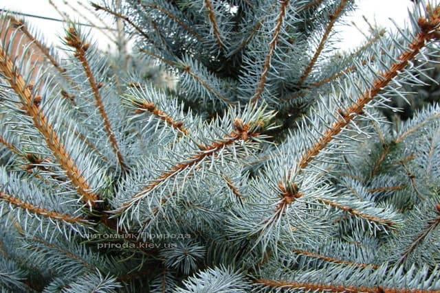 Ель колючая голубая Эдит (Picea pungens Edith) ФОТО Питомник растений Природа (1)