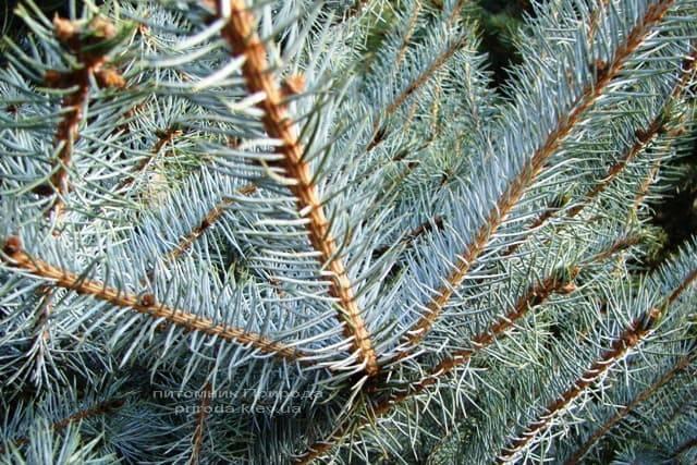 Ель колючая голубая Эдит (Picea pungens Edith) ФОТО Питомник растений Природа (3)