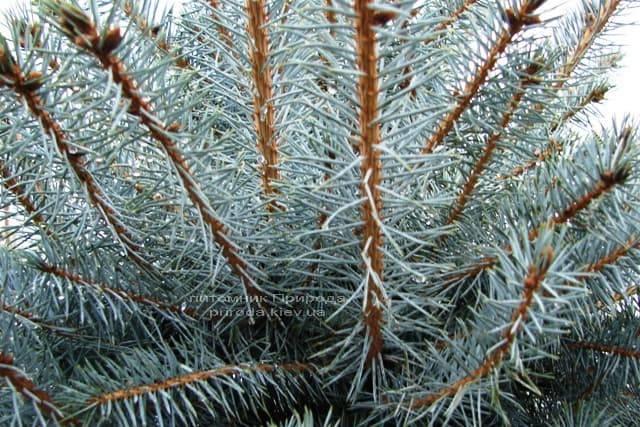 Ель колючая голубая Эдит (Picea pungens Edith) ФОТО Питомник растений Природа (4)