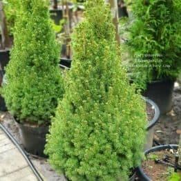 Ялина канадська Коніка (Picea glauca Conica) ФОТО Розплідник рослин Природа (1)