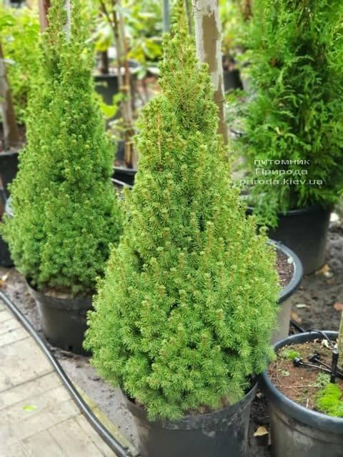 Ель канадская Коника (Picea glauca Conica) ФОТО Питомник растений Природа (1)