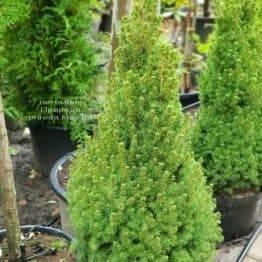 Ялина канадська Коніка (Picea glauca Conica) ФОТО Розплідник рослин Природа (2)